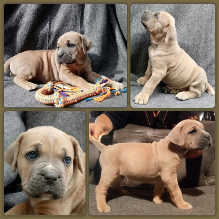 Litter Of 8 Cane Corso Puppies For Sale In Delaware Oh Adn 28380 On Puppyfinder Com Gender Male Age 5 Weeks Old Cane Corso Cane Corso Puppies Puppies