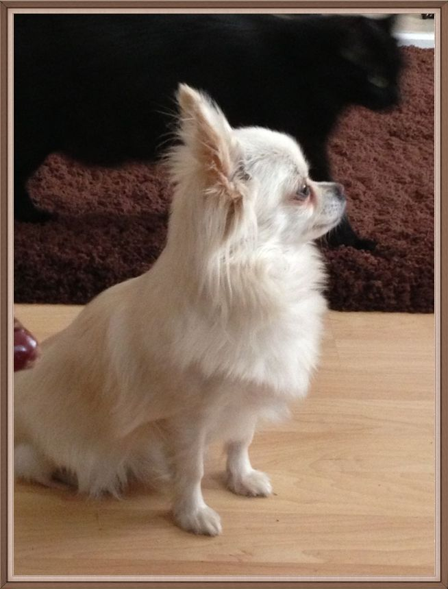 White Long Haired Chihuahua Teacup Aquiles Baez Com Hash