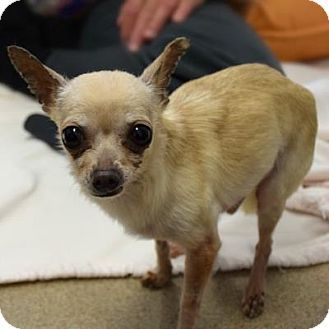 06 20 16 Sl Chihuahua Mix Male Senior Dog For Adoption In Denver