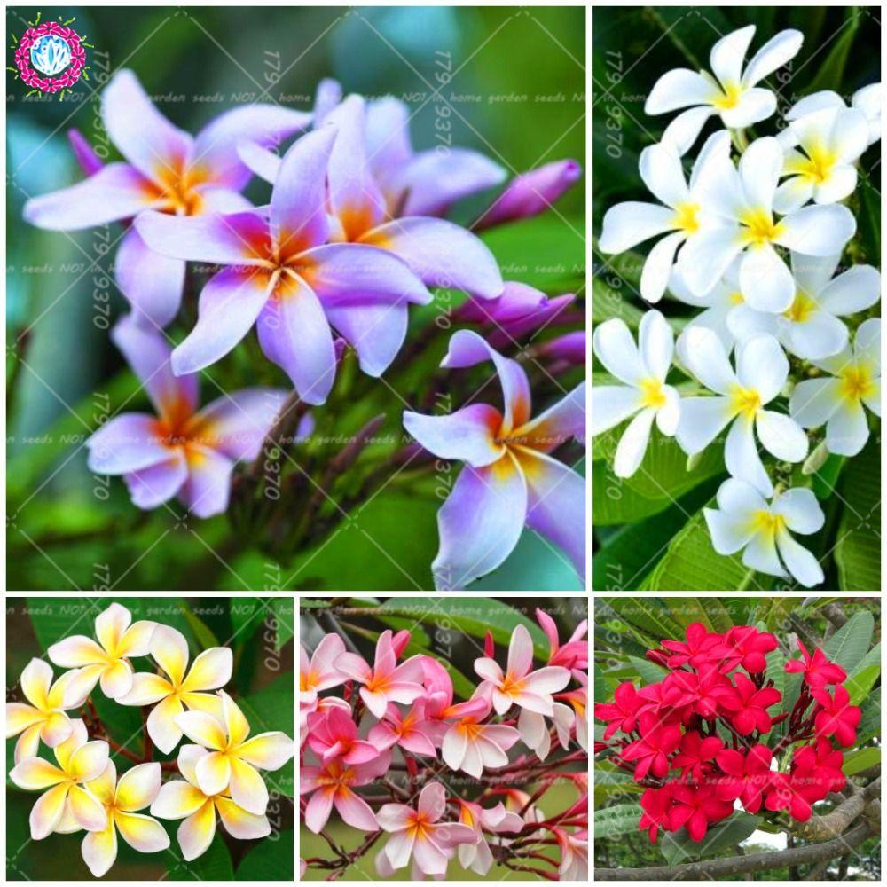 20pcs Bonsai Plumeria Rubra India Frangipani Flower Myanmar Gardenia Perennial Tropics Tree Plant For Home Garden Plants Trees To Plant Tropical Tree Plants