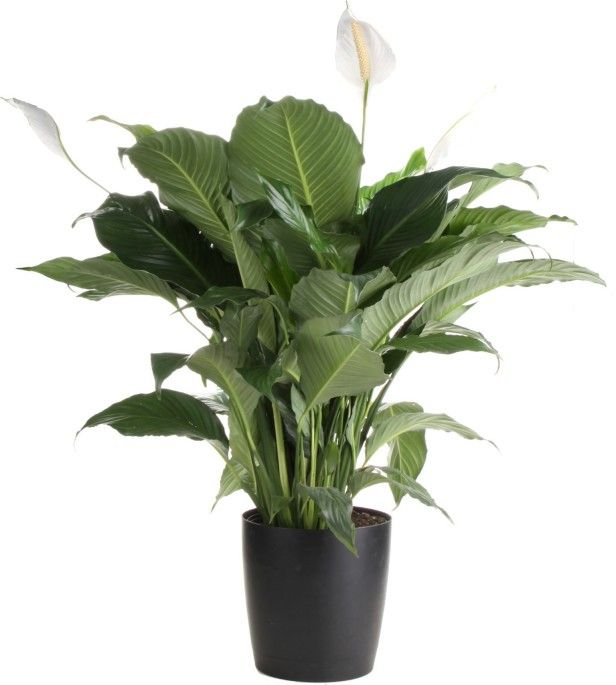 peace lily, or spathiphyllum, is one of the most common