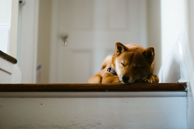 Sleepy Shiba. Oh look, another picture of a dog [day 101 of 366] by Wondermonkey2k, via Flickr