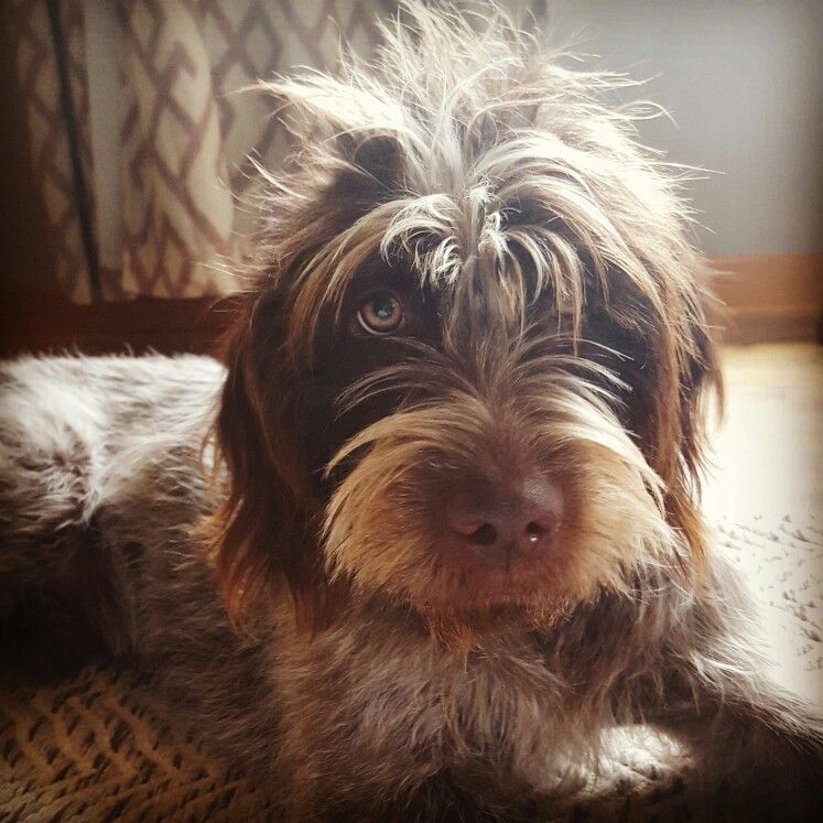 Wire haired pointing griffon. (With images) Unique dog