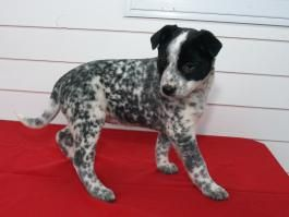 Dalmation Mix Puppies For Sale Australian Cattle Dog Mix