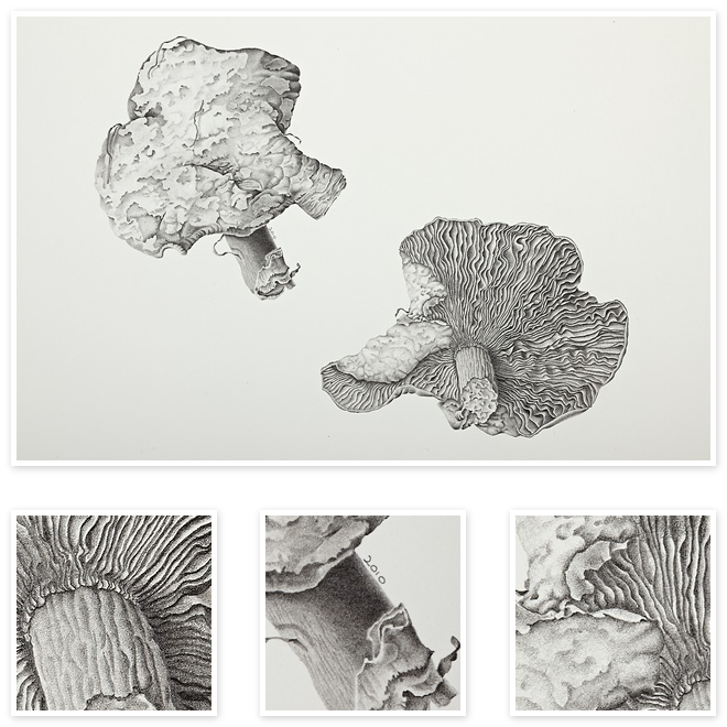 Agaric Wild Fungi Sharon Field Botanical Artist Study Inspiration For Botanical Sketchbooks For Art Students At C Drawings Botanical Art Nature Drawing