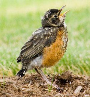 Can I Keep Him Baby Robin Bird Robin Bird Baby Robin