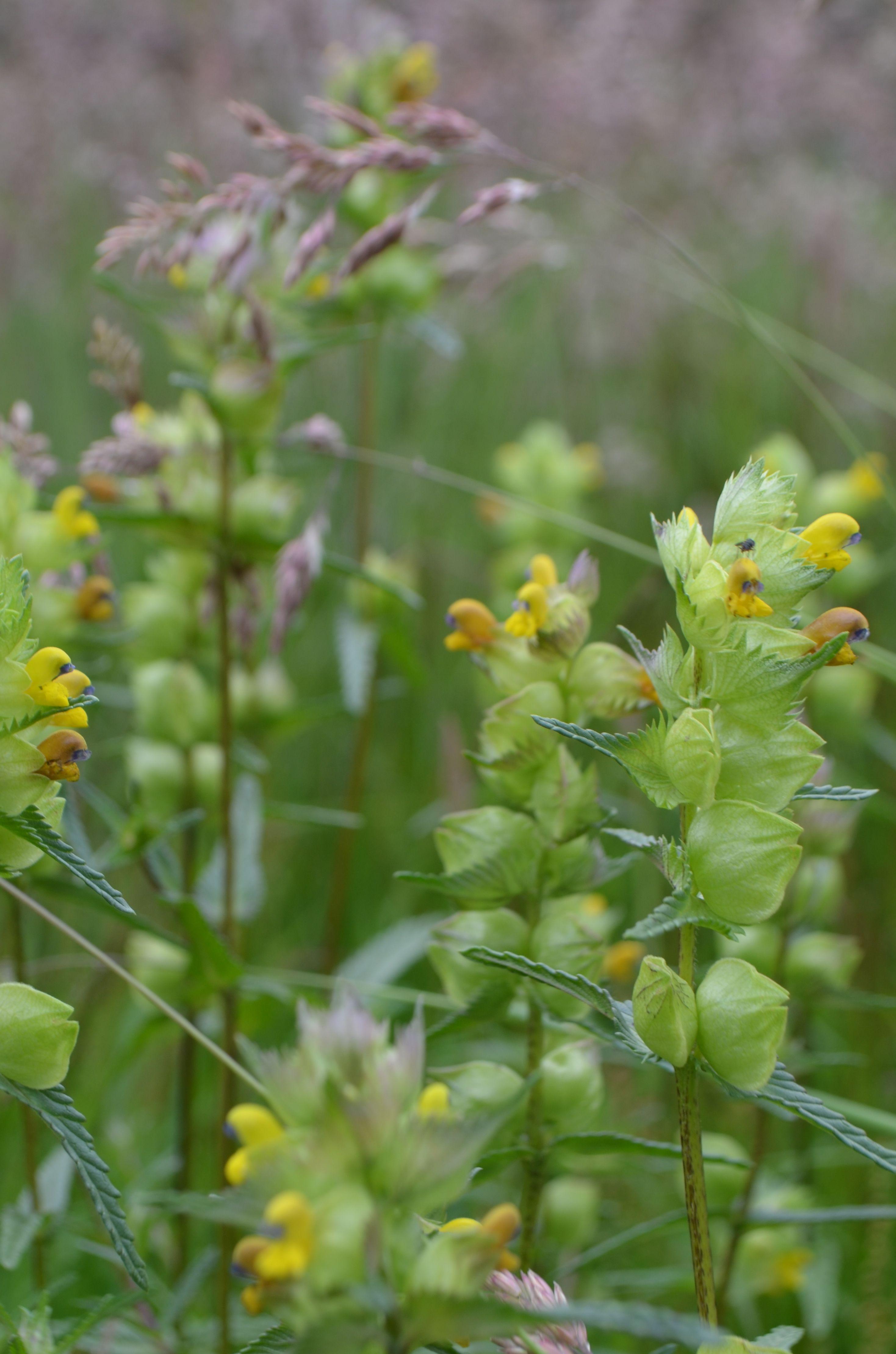 Yellow Rattle Rhinanthus Minor Hemi Parastic Plant That Weakens