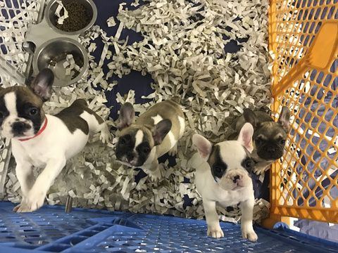 French Bulldog Puppy For Sale In Fair Lawn Nj Adn 19943 On
