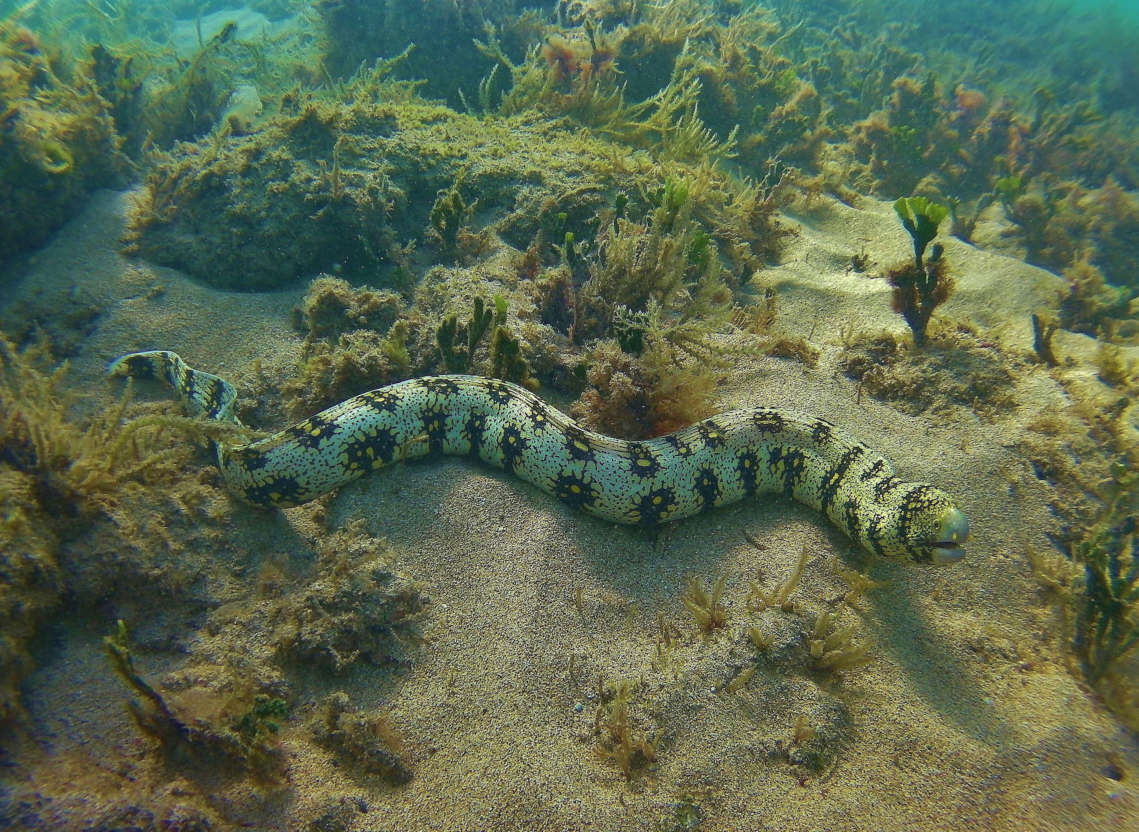 Snowflake Moray Eel In Maui Moray Eel Marine Life Life Aquatic