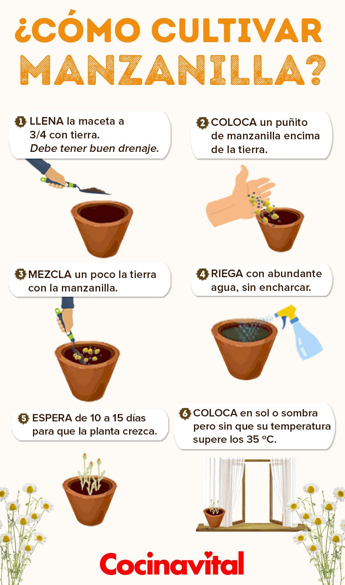 Cómo Cultivar Manzanilla En Maceta Orgánica Cocina Vital Qué Cocinar Hoy Plantas Para Cocina Frutas En Macetas Jardín De Productos Comestibles