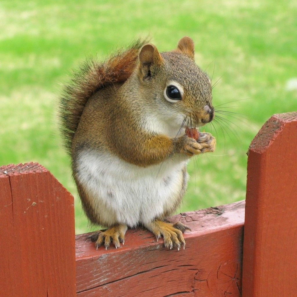 What Do Squirrels Like to Eat? Red squirrel, Cute