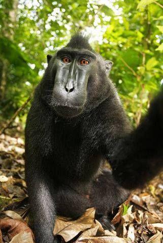 Ha rubato la fotocamera e ha iniziato a fare scatti a ripetizione! http://bit.ly/scimmiaSelfie