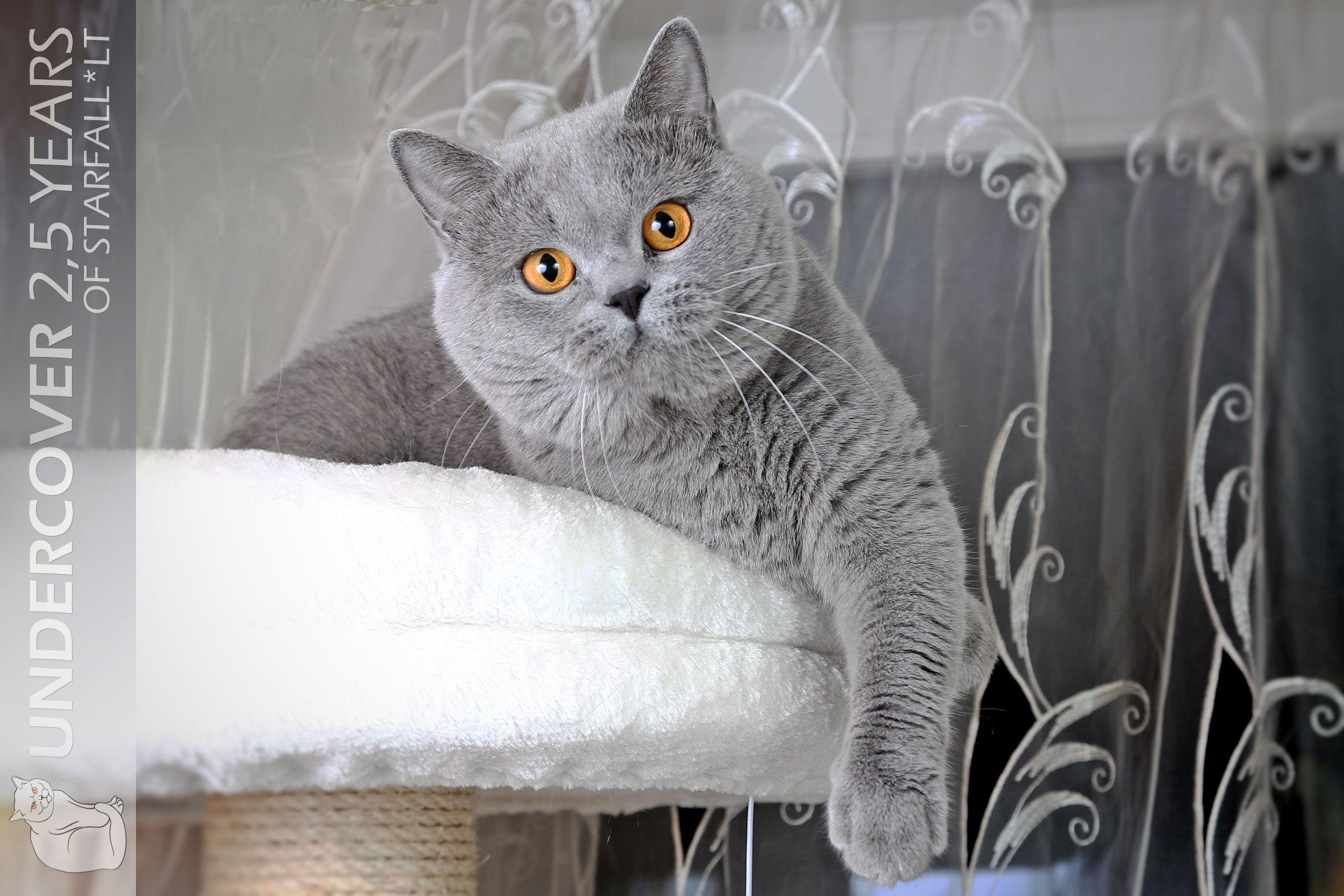 British Shorthair cattery Starfall*LT https//starfall.lt