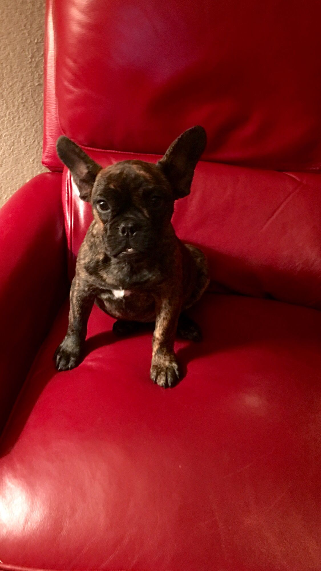My new 4month old puppy Lucy, French Bulldogdark brindle