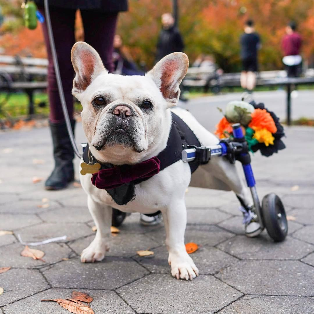 Source Instagram Com Thedogist Tristan French Bulldog 8 Y O Washington Square Park New York Ny Hes Had The Wheels For T Animals French Bulldog