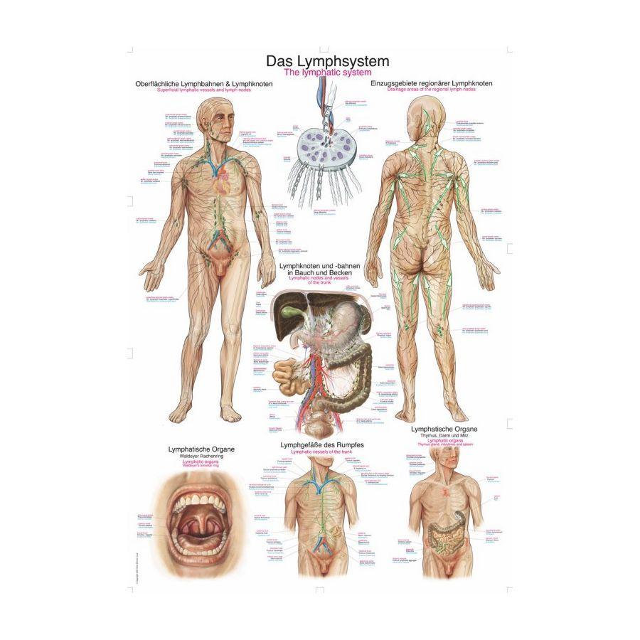 Welp Afbeeldingsresultaat voor menselijk vrouwelijk lichaam organen EI-78