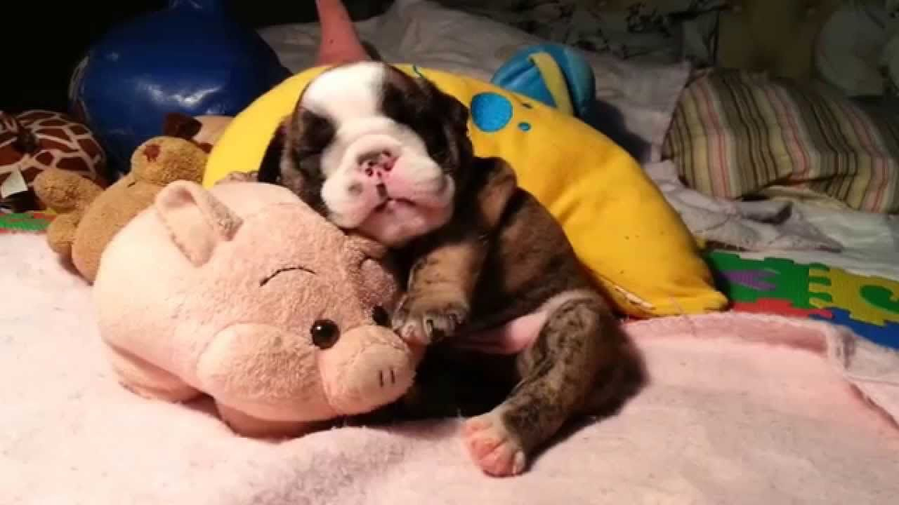 Pin By Camp Canine On Camp Canine Cute Bulldog Puppies Puppy