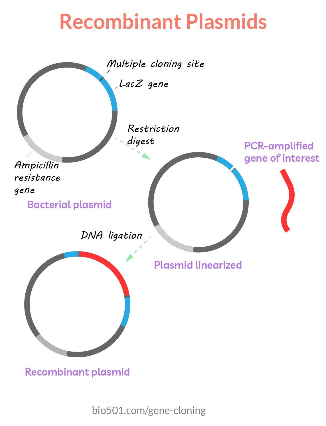 Recombinant Plasmids Genome Sequencing Bacterial Transformation Molecular Biology