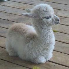 Baby llama likes to avoid all drama.