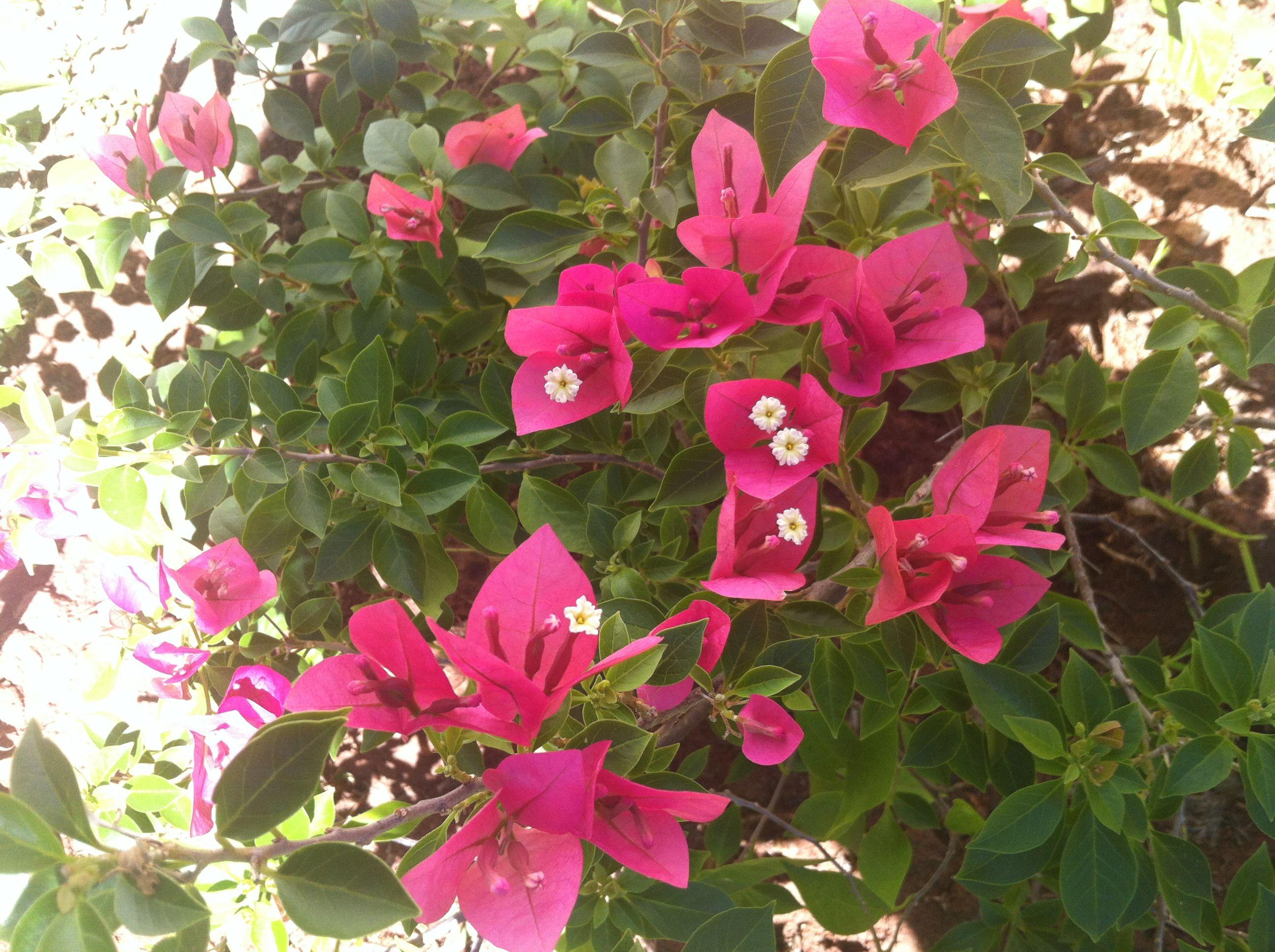 Santa Rita Enana Enana Plantas Flores