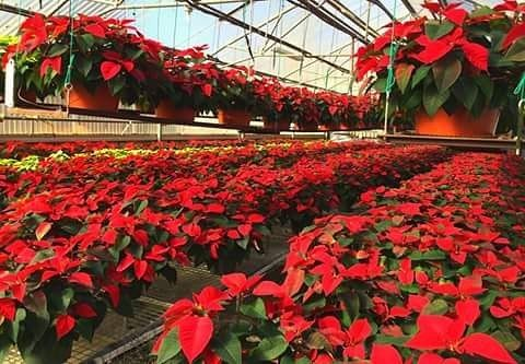 "I want My room full of red poinsettias and red white & gold candles (the tall thick ones) and scented pinecones. Not because of the holidays.  I just want it to feel like home.  TODAY IS NATIONAL POINSETTIA DAY ""By an Act of Congress December 12 was set aside as National Poinsettia Day. The date marks the death of Joel Roberts Poinsett who is credited with introducing the native Mexican plant to the United States. The purpose of the day is to enjoy the beauty of this popular holiday plant.""…"