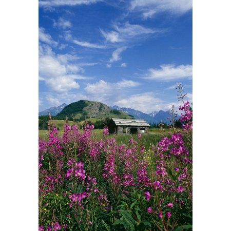Old Cabin W Fireweed Summer Sc Ak Canvas Art - John Warden Design Pics (11 x 17)