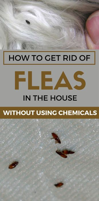 Learn How To Get Rid Of Fleas In The House Without Using Chemicals Home Remedies For Fleas Flea Remedies Fleas