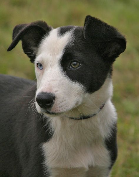 Black And White Smooth Coat Blue And Brown Eyed Collie Puppies