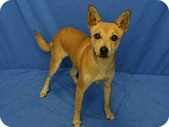 Pictures Of Callie A Shiba Inu Chihuahua Mix For Adoption In St