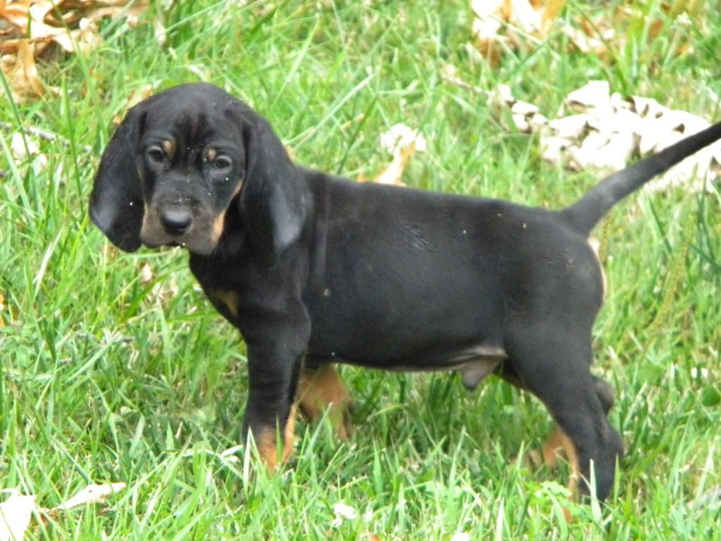 black and tan coonhound photo | Big Game Black and Tan ...