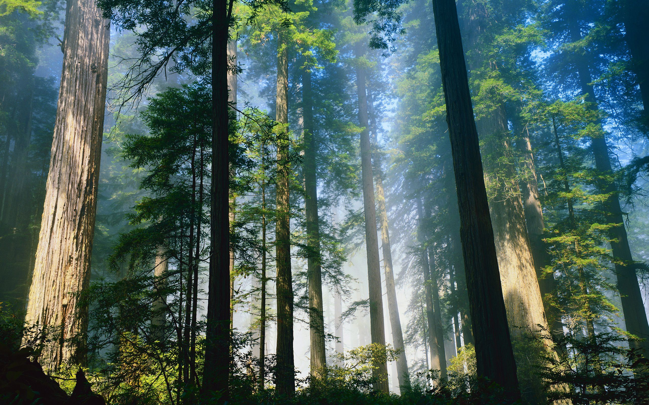 Daily Wallpaper Redwood Forest I Like To Waste My Time Coastal Redwood Redwood Forest Nature