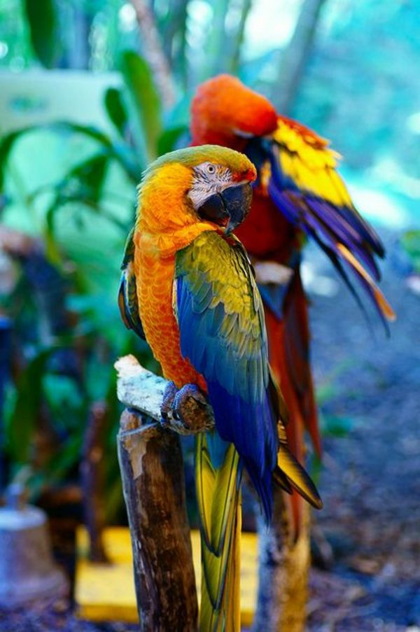 papageien in bunten farben  aves hermosas aves