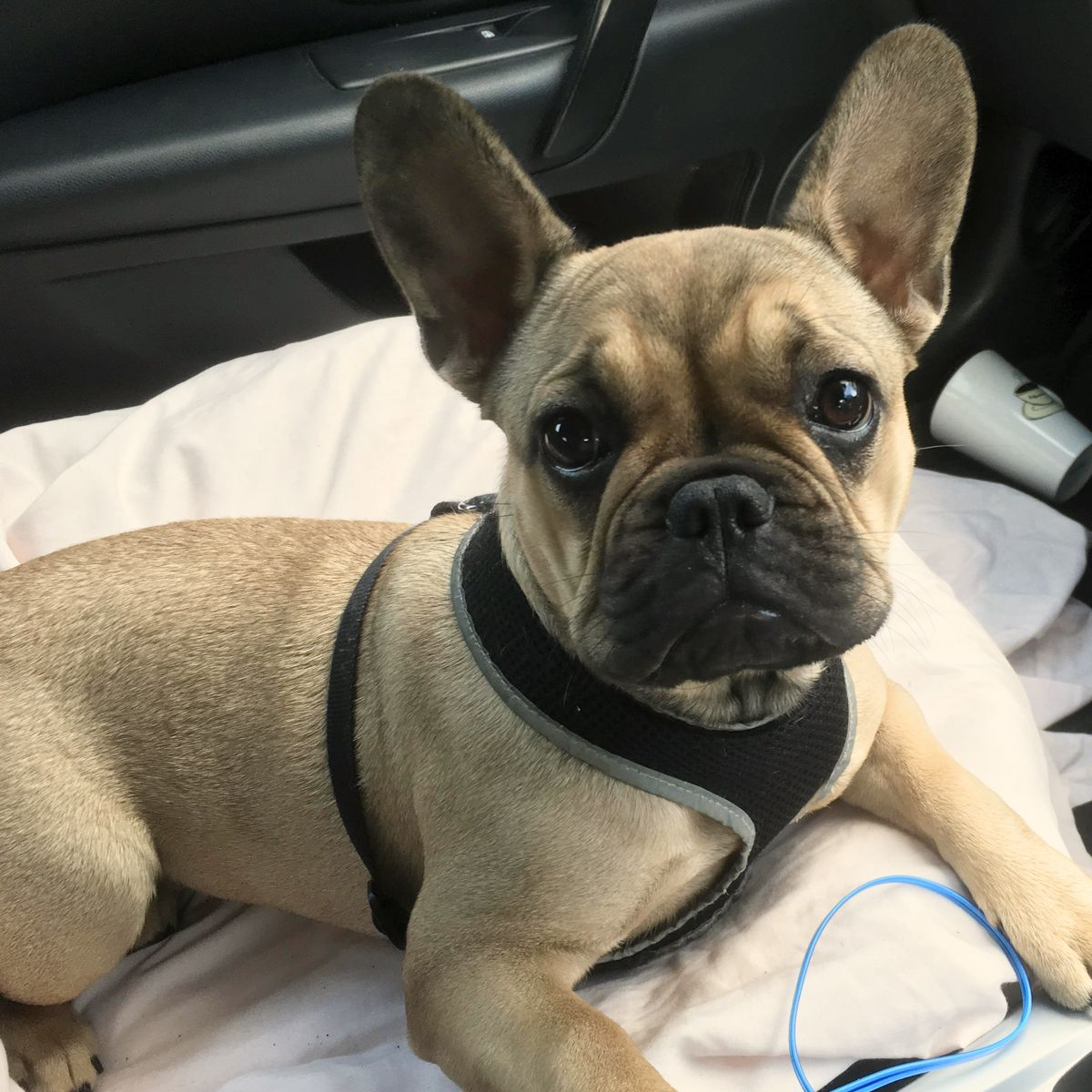 Newdoggysignup Phoebe The French Bulldog From Pembrokeshire Is The