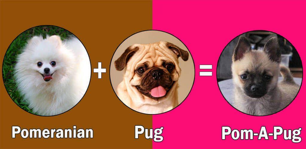 Pomeranian Mix Top 10 Pomeranian Cross Breeds Pugs Dog Breeds