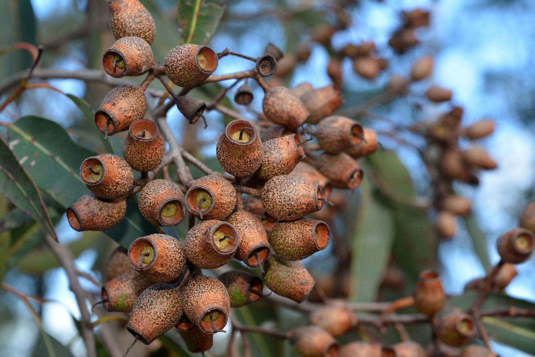 Pink Bloodwood Seed Pods Seeds Trees To Plant