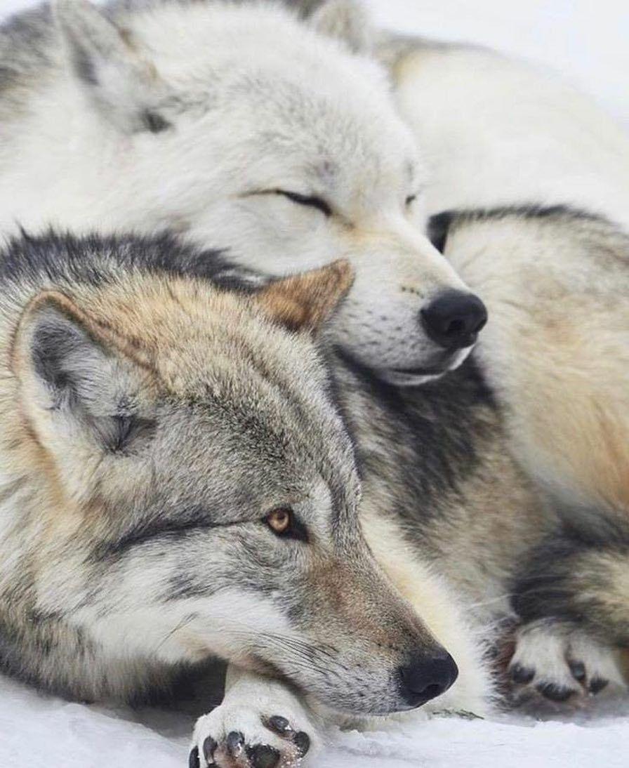 Милые картинки волк