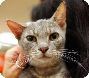 NYC, NY Oriental. Meet Nokia OSH a Cat for Adoption
