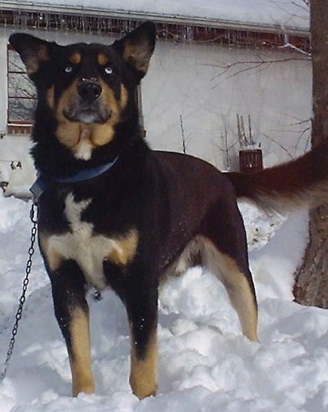 Husky Black And Tan Coonhound Mix Rottweiler Mix