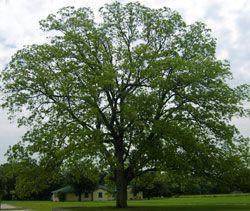 Texas Pecan Tree Nursery Thenurseries