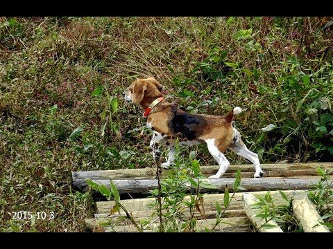 Skyview S Beagles Pleasure Run Northern Wv Beagle Club Oct 3 2015
