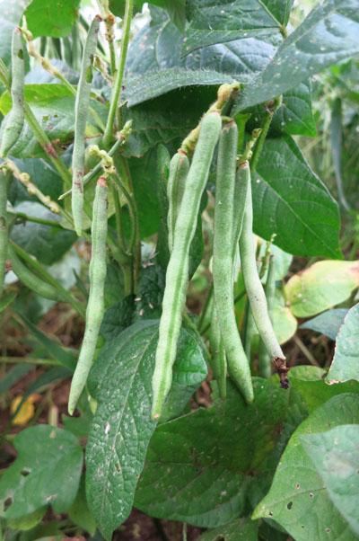 方 小豆 の 育て
