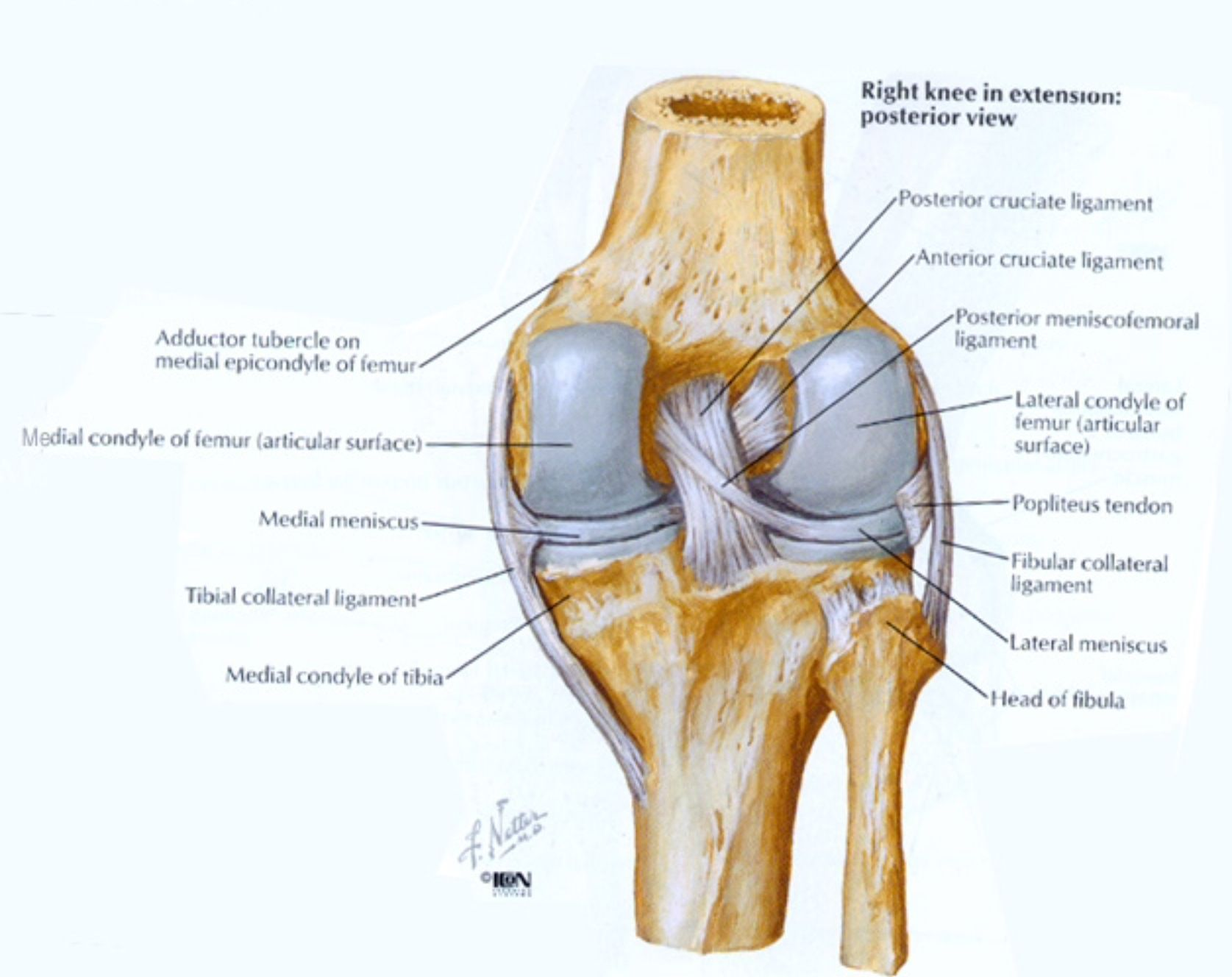 Posterior aspect of the knee - Netter | Anatomy | Pinterest | Yoga