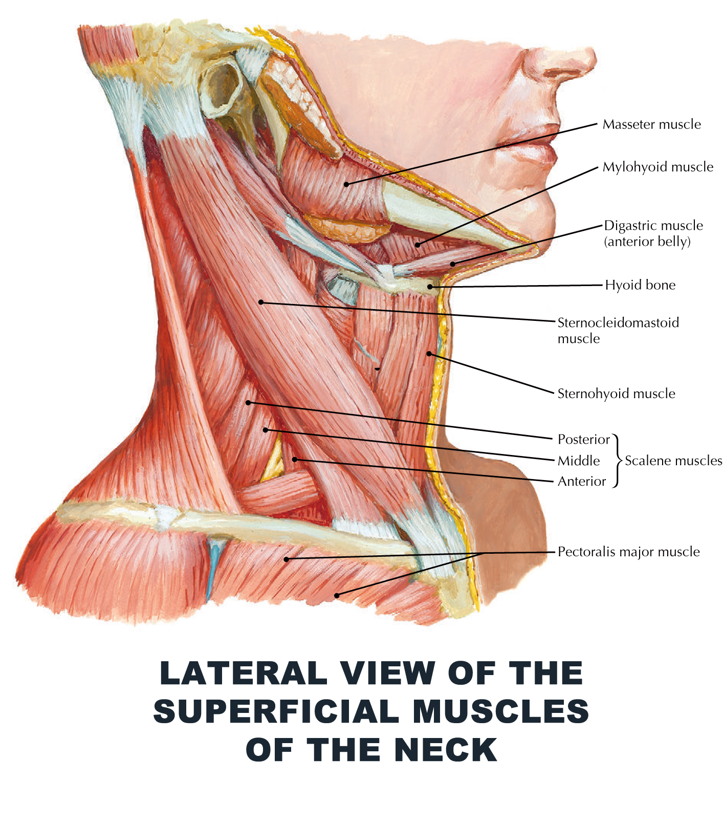 Lateral View Of The Superficial Muscles Of The Neck Anatomy