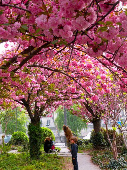 Cherry Blossoms 12 Paris In Spring By Richard Nahem Paris In Spring Paris Beautiful Places