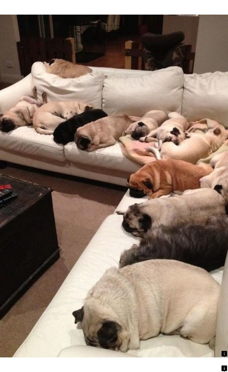 ^^Go to the webpage to see more on pug puppies price