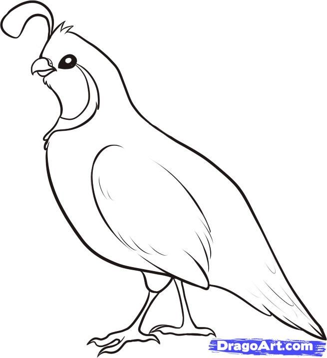 Line Art Quail : How to draw a quail step  g