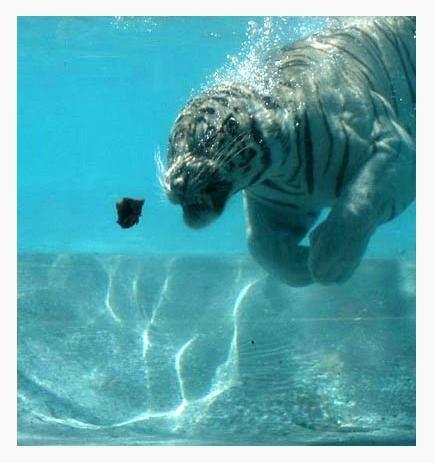 Tigre haciendo apnea.  El tigre es el animal terrestre que mejor nada :) Puuuurrrrfección!!!