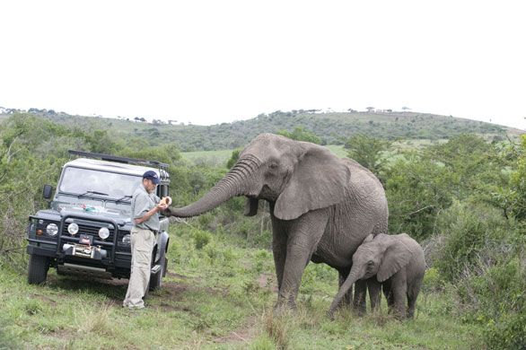 African-Elephant-Being-Fed-Lawrence-Anthony