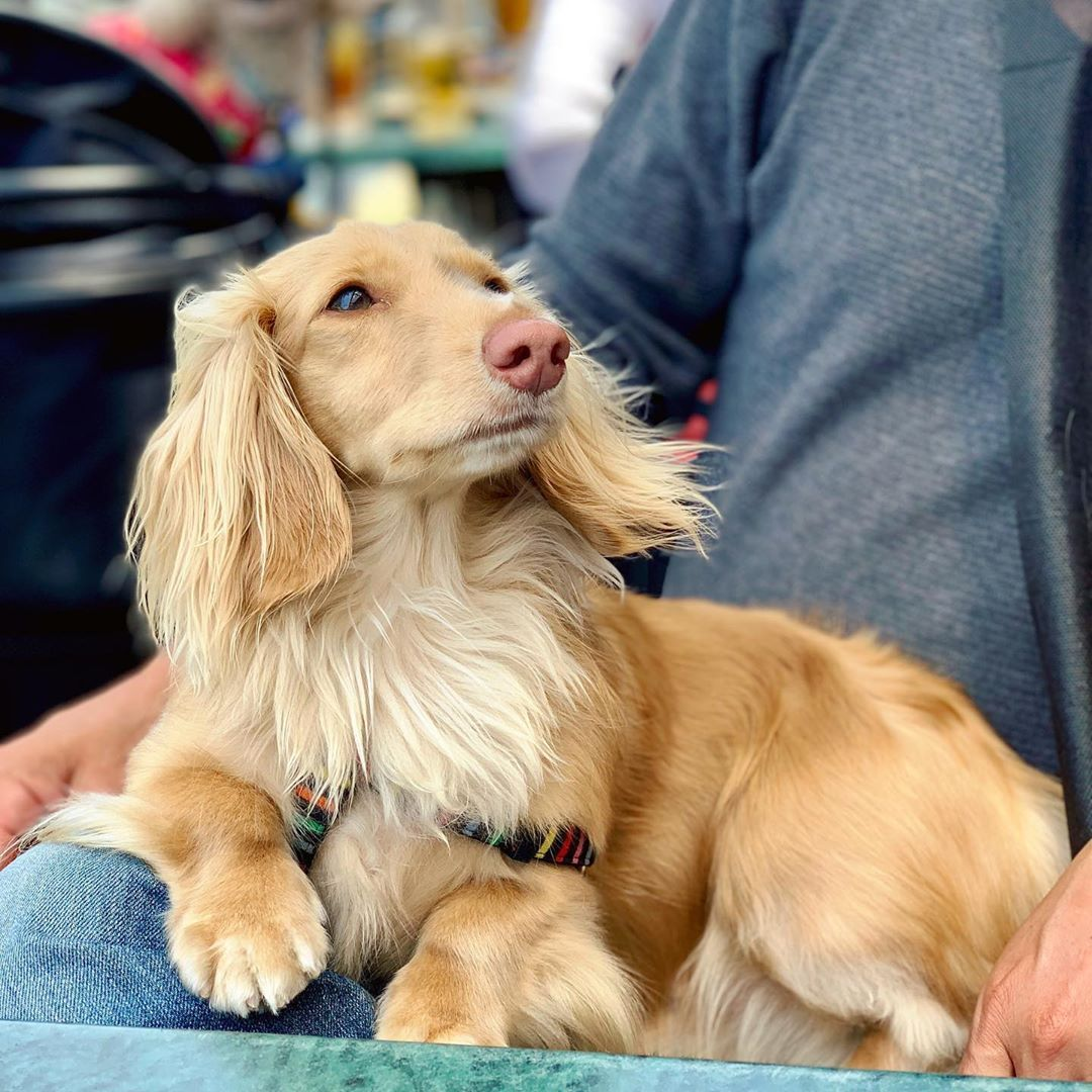 Longhaired Dachshund Visit Our Blog Dachshund Central Com
