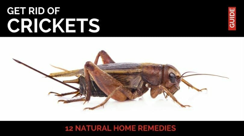 how to get rid of mole crickets in basement